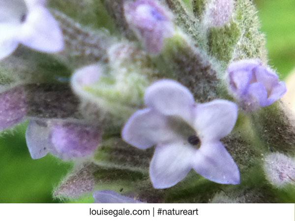 lavenderbud