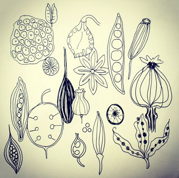 seed pod drawings 52 weeks of nature art